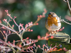 Friendly Robin (IanGro) Tags: bird robin ipswich christchurchpark