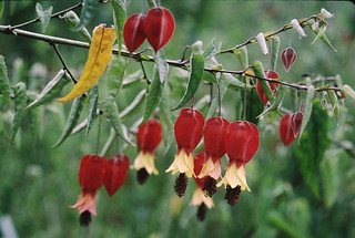 Abutilon megapotamicum_Savegre_1_2
