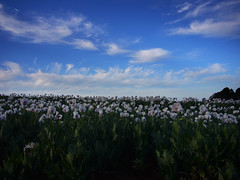P1100138-poppies fild-A (elisabethgleave) Tags: poppyfield
