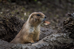 Murmeltier (sergei.ribant) Tags: wien wild animal zoo wildlife marmot tiergarten murmeltier erdhrnchen munggen
