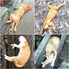 Time to sleep ... Nite~~ 😪💤😴 #goodnight #cat #mycat #แมวพี่เครียดจนต้องก่ายหน้าผาก #แมวพี่อ่อยแหกขาซะ #แมวพี่ชอบเล่นท่ายาก #แมวพี่เล่นโยคะเป็นนะ #catstagram #catofinstagram #catofb