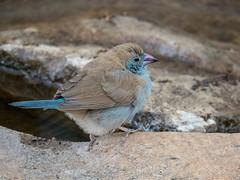 Fluffed Up (Makgobokgobo) Tags: africa bird uganda cordonbleu redcheekedcordonbleu kidepo uraeginthus uraeginthusbengalus karenga karengacommunitywildlifearea karengawildlifearea