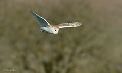 Barn Owls-Tyto alba. (PANDOOZY PHOTOS) Tags: uk winter wild nature birds adult wildlife hunting flight raptor owl gb prey behavior owls barnowl birdofprey tytoalba strigiformes barnowls behaviour hunts tytonidae