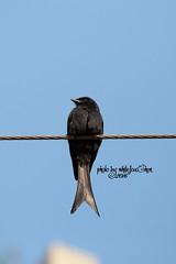 Black Drongo (Whitefox Chen) Tags: bird canon taiwan taipei    blackdrongo  canon70300mm