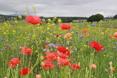 Poppies. (Seckington Images) Tags: flickr poppies flowersflickr