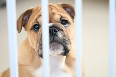 Behind  bars (terryunderhill75) Tags: red dog pet cute canon bulldog cutie bully punishment redenglishbulldog