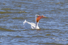American White Pelican fishing sequence - 18 of 20