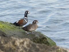 Harlequin Pair (swmartz) Tags: nature march newjersey nikon wildlife jetty ducks waterfowl barnegat 2016