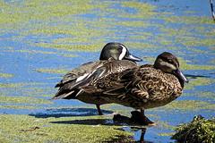Blue Winged Teals (LastNitesFun) Tags: southcarolina ducks teals bluewingedteals audubonswampgarden