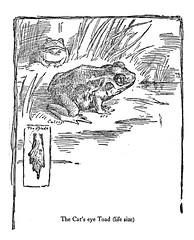 Cat's eye toad (katinthecupboard) Tags: 1920s toad ernestthompsonseton vintagechildrensillustrations vintagenaturedrawings