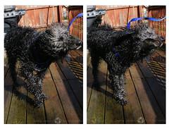 35/365 (JennaAbbottPhotography) Tags: summer dog hot water puppy hotdog poodle bordercollie hotday coolingoff 365day borderdoodle