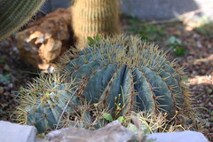 Ferocactus glaucescens (alloe.) Tags: ferocactus