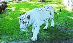White Tiger in Beograde (Serbia) (petikova) Tags: white green animal zoo tiger serbia beograde