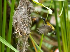 20160401-EM1X5031 (shutterblades) Tags: bird feeding nesting nests sunbirds gardensbythebay olympusem1 olympusmzuiko300mmf4pro