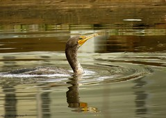 """A Shag"" (Gary Helm) Tags: fish bird nature water birds swim canon outside canal fly backyard image florida outdoor wildlife powershot photograph perch cormorant shag doublecrestedcormorant polkcounty seacrow crowduck tauntonturkey whitecrestedcormorant sx60hs ghelm4747 garyhelm waterbuzzard"