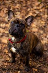 Faithful Glance (maren.wetzer) Tags: dog pet canon french walk can bulldog frenchie bully tamron 90mm 90 faithful eos6d