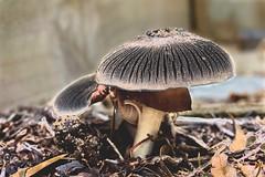 mushroom side solarise (Mike - through my eyes) Tags: mushroom closeup garden fungus toadstool solarise