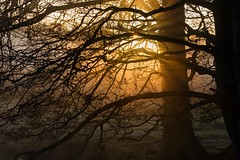 Suffuse (Chaitanya Deshpande   Photography) Tags: morning trees light mist tree sunrise dawn