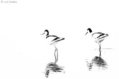 Just the two of us (2) (Rob Blanken) Tags: high key piedavocet recurvirostraavosetta kluut