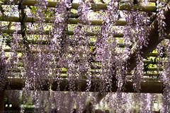 Wisteria at Imperial Palace East Garden (gemapozo) Tags: japan garden tokyo pentax jp  imperialpalace wisteria k1     tamronsp90mmf2811macro