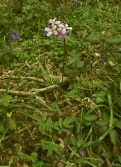 Cardamine bulbifera (Coralroot) - habit, Old Park Wood, Harefield, 29.4.16 (respect_all_plants) Tags: wildflowers middlesex herts wildlifetrust bittercress coralroot harefield cardaminebulbifera oldparkwood