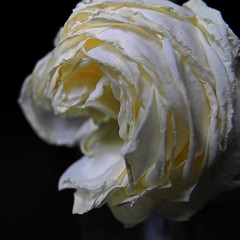 Dins (llambreig) Tags: love rose paper death spain poetry poem amor mort flor rosa blanca record poesia nit poeta versos memria oblit ptals leveroni desmai castello castellodelaplana porcarnet