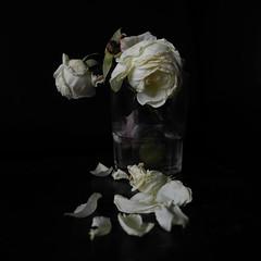 Noms en la tenebra (llambreig) Tags: love rose paper death spain poetry poem amor mort flor rosa blanca record poesia nit poeta versos memria oblit ptals leveroni desmai castello castellodelaplana porcarnet