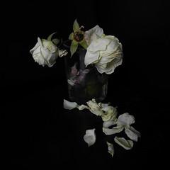 Fas ms amors el meu dolor (llambreig) Tags: love rose paper death spain poetry poem amor mort flor rosa blanca record poesia nit poeta versos memria oblit ptals leveroni desmai castello castellodelaplana porcarnet