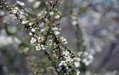 Meadowsweet (odeleapple) Tags: film 50mm nikon f100 af nikkor meadowsweet f18d fujicolor100