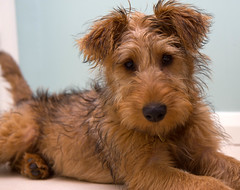 Young Tess after bath (Stephen Boffey) Tags: irish puppy terrier tess