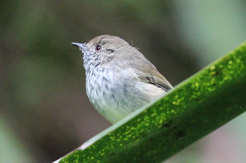 Acanthiza lineata (Striated Thornbill)