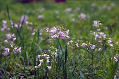 Wiesen-Schaumkraut (ingrid eulenfan) Tags: nature natur wiese wiesenschaumkraut wiesenblume wildblume