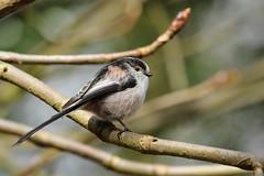 Long tailed tit (david.england18) Tags: park uk birds tits small queens longtailedtit localpark canonef300mmf4lisusm birdsuk variour 7dcanon heywoodcanon
