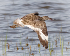 Willet (tresed47) Tags: birds us content places delaware folder waders takenby willet 2016 bombayhook peterscamera petersphotos canon7d 201604apr 20160425bombayhookbirds