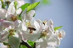 IMGP5873 (Axel12p) Tags: flowers spring  kozani   tamron70200  pentaxk5ii
