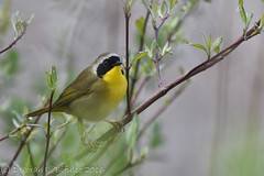 FOY Common Yellowthroat (dbifulco) Tags: nature newjersey lafayette wildlife hyperhumusmarsh paulinskillriverwma