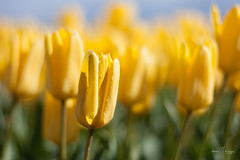 Sea of yellow (Monika Kalczuga (v.busy)) Tags: flowers plant flower holland netherlands field yellow landscape spring pattern tulips bright outdoor depthoffield flowerbed tulip flowerfields tulpen tulipfields tulipany typicaldutch typicalducth
