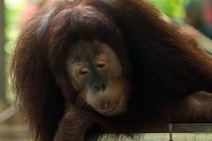 orangutan2_torontozoo_april16 (YenC) Tags: toronto animals zoo orangutan mammals primates