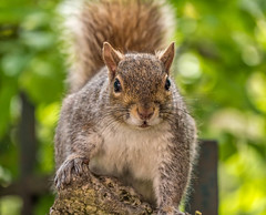 En tte  tte (Gilles83100) Tags: nature animal squirrel wildlife cureuil gx8