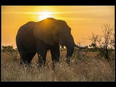 Elefante en el Kruger (Juan Di Lullo) Tags: africa viaje naturaleza atardecer kruger elefante sudafrica 2015
