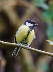 Tit Crop (tobyjm) Tags: blue light tree bird nature pond branch tit low great reserve crop perch fleet