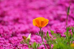 ()/Eschscholtzia californica (nobuflickr) Tags: californianpoppy goldenpoppy eschscholtziacalifornica    20160419dsc07491