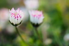 Daisy Dreaming (Karsten Gieselmann) Tags: pink white color green spring dof bokeh rosa olympus daisy wildflowers grn farbe frhling gnseblmchen schrfentiefe weis m43 wildblumen mft 60mmf28 microfourthirds mzuiko em5markii kgiesel
