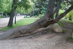 Salix babylonica (SUBENUIX) Tags: arbol paisaje cerdanya pirineus puigcerd salixbabylonica pirineusorientals arbolhojasimple