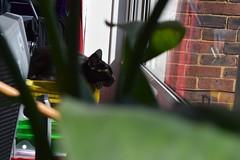 Angela through the plants (sarahswandive) Tags: pet cat windowsill