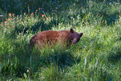 Black Bear (fascinationwildlife) Tags: california bear park wild summer usa black nature animal america mammal cinnamon wildlife natur meadow national predator sequoia br schwarzbr