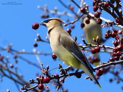Cedar Waxwing IMG_5019 (Jennz World) Tags: sky ontario canada bird animal berries cedarwaxwing brantford lornepark jennifermlivick