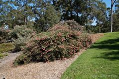 Grevillea 'Billy Bonkers' (Tatters ) Tags: flowers australia hybrid botanicgarden grevillea proteaceae mcbgb grevilleabillybonkers