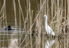 9Q6A9888 (2) (Alinbidford) Tags: lapwing cormorant buzzard greyheron littleegret redshank greatcrestedgrebe brandonmarsh alancurtis alinbidford weepingwillowbuds
