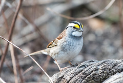 White-throated Sparrow, Pinery Provincial Park, Ontario (frank.king2014) Tags: whitethroatedsparrow